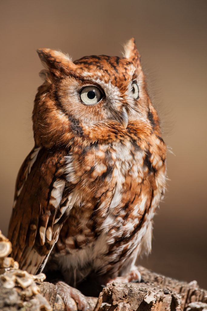 ThinkstockPhotos 674941678 683x1024 - 17 Fascinating Owl Facts