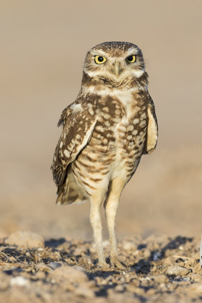ThinkstockPhotos 689306842 683x1024 - 17 Fascinating Owl Facts