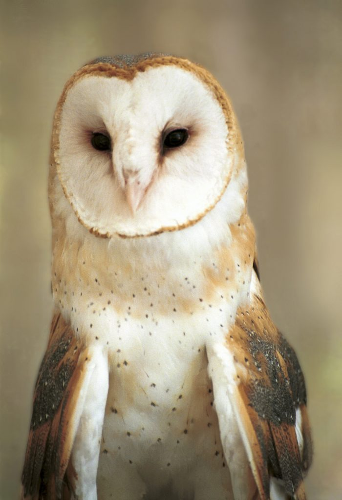 ThinkstockPhotos 71263121 700x1024 - 17 Fascinating Owl Facts