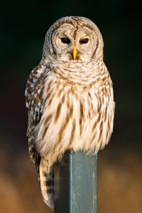 BarredOwl ThinkstockPhotos 457088173 200x300 - Eight Famous Owl Brand Names