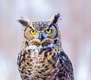 ThinkstockPhotos 678689860 300x264 - Three Classic Owl Commercials